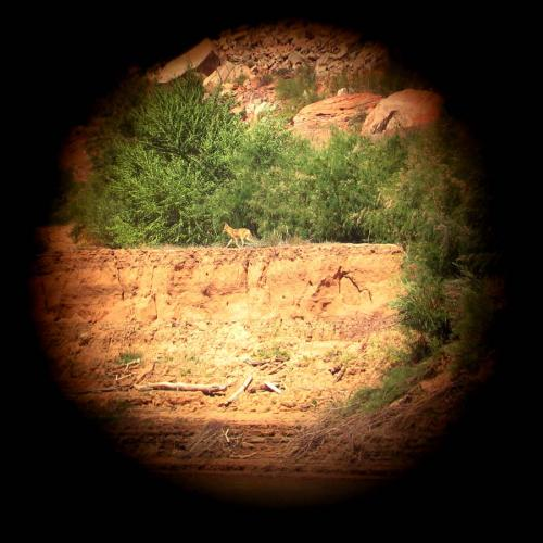 Coyote as Seen through Binoculars