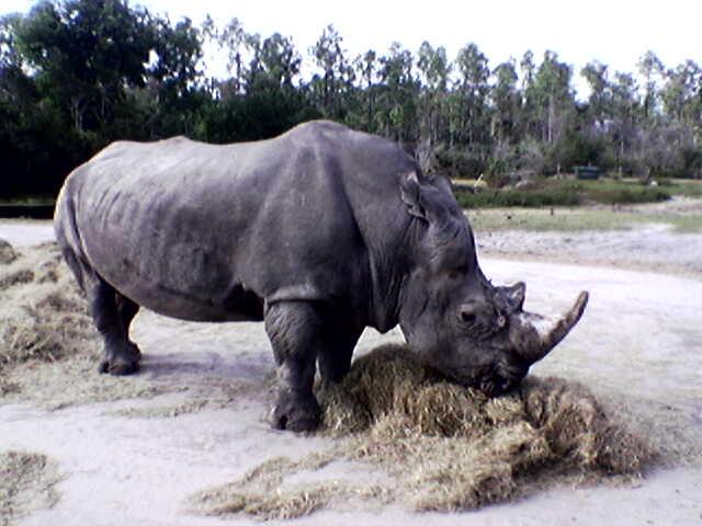 A rhinoceros in Florida